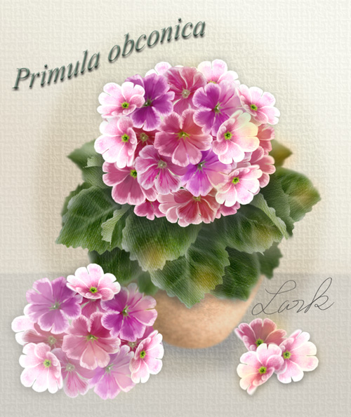 プリムラオブコニア